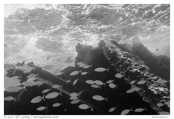 School of Bermuda Chubs, Avanti wreck, and surge. Dry Tortugas National Park (black and white)