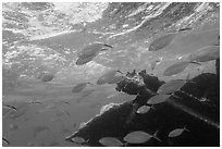 Fish around Windjammer wreck. Dry Tortugas National Park, Florida, USA. (black and white)