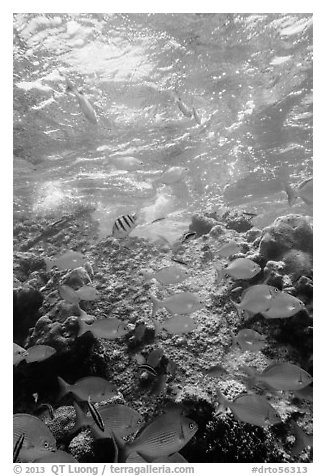 Tropical fish around Avanti wreck. Dry Tortugas National Park (black and white)