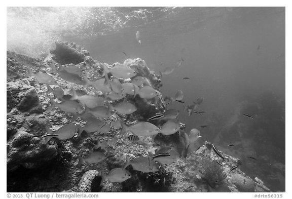 Bermuda Chub fish around Windjammer Wreck. Dry Tortugas National Park (black and white)