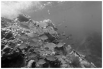 Bermuda Chub fish around Windjammer Wreck. Dry Tortugas National Park, Florida, USA. (black and white)