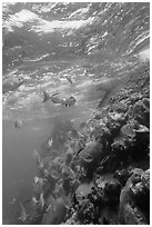 Marine wildlife around Windjammer Wreck. Dry Tortugas National Park, Florida, USA. (black and white)