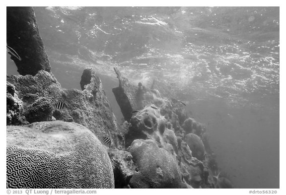 Brain coral on Avanti wreck. Dry Tortugas National Park (black and white)