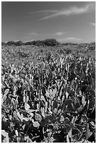 Cactus and geiger trees, Loggerhead Key. Dry Tortugas National Park ( black and white)