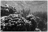 Coral in shallow reef, Little Africa, Loggerhead Key. Dry Tortugas National Park, Florida, USA. (black and white)