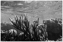 Soft coral, Little Africa, Loggerhead Key. Dry Tortugas National Park, Florida, USA. (black and white)