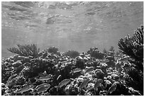 Fish and coral reef, Little Africa, Loggerhead Key. Dry Tortugas National Park, Florida, USA. (black and white)