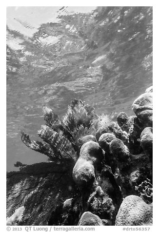 Brain and fan corals, Little Africa, Loggerhead Key. Dry Tortugas National Park (black and white)