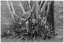 Cactus and brick walls. Dry Tortugas National Park, Florida, USA. (black and white)
