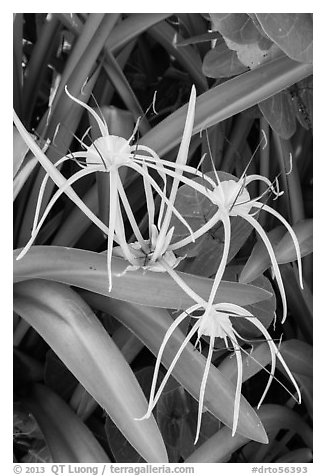Close-up of flowers, Garden Key. Dry Tortugas National Park (black and white)