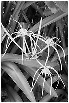 Close-up of flowers, Garden Key. Dry Tortugas National Park, Florida, USA. (black and white)