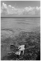 Man and boy snorkeling on reef. Dry Tortugas National Park, Florida, USA. (black and white)