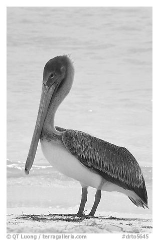 Pelican, Garden Key. Dry Tortugas National Park (black and white)