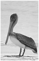 Pelican. Dry Tortugas National Park, Florida, USA. (black and white)