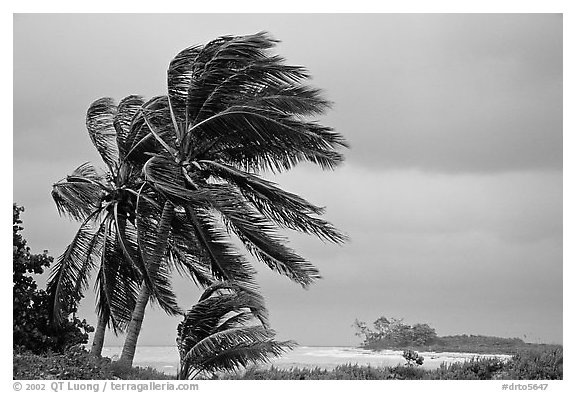 Palm trees windblown on a stormy day. Dry Tortugas National Park (black and white)