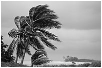 Palm trees windblown on a stormy day. Dry Tortugas National Park, Florida, USA. (black and white)