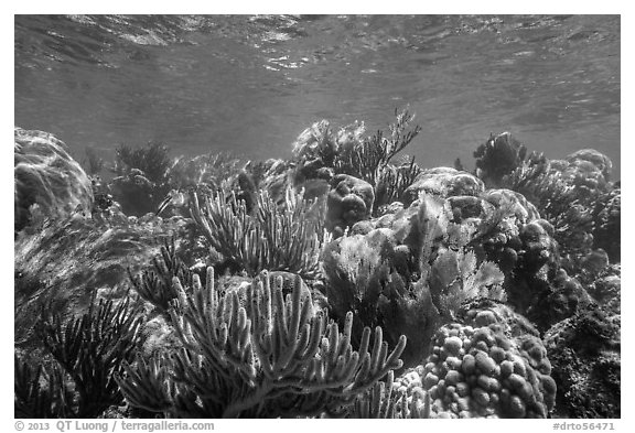 Variety of colorful corals, Little Africa reef. Dry Tortugas National Park (black and white)