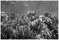 Variety of colorful corals, Little Africa reef. Dry Tortugas National Park, Florida, USA. (black and white)
