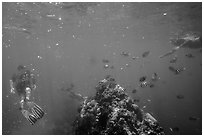 Snorklers, fish, and coral. Dry Tortugas National Park, Florida, USA. (black and white)