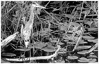 Great Blue Heron. Everglades National Park, Florida, USA. (black and white)