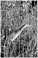American Bittern. Everglades National Park, Florida, USA. (black and white)