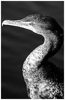 Cormorant. Everglades National Park ( black and white)