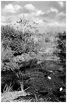 Egrets, alligators, ahinga, from the Ahinga trail. Everglades National Park, Florida, USA. (black and white)