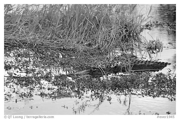 American Alligator in marsh. Everglades National Park (black and white)
