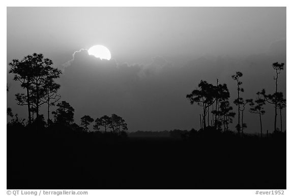 Sun emerging from behind cloud and  pine group. Everglades National Park, Florida, USA.