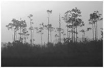 Foggy sunrise with pines. Everglades National Park, Florida, USA. (black and white)