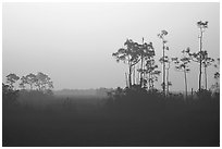 Slash pines in fog near Mahogany Hammock, sunrise. Everglades National Park, Florida, USA. (black and white)