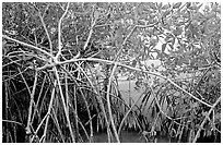 Red mangroves (Rhizophora mangle) on West Lake. Everglades National Park, Florida, USA. (black and white)