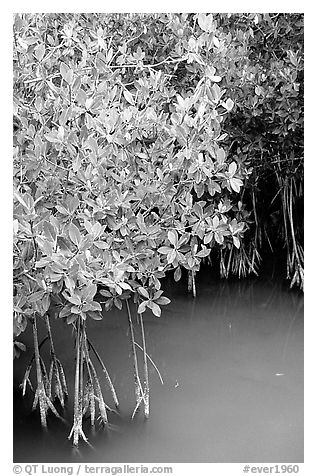 Detail of mangroves shrubs and colored water. Everglades National Park (black and white)