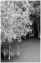 Detail of mangroves shrubs and colored water. Everglades National Park, Florida, USA. (black and white)