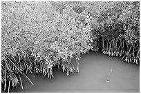 Red Mangroves gives swamp water a red color. Everglades National Park, Florida, USA. (black and white)