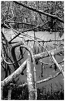 Mangroves giving the water a red color, Snake Bight trail. Everglades National Park, Florida, USA. (black and white)