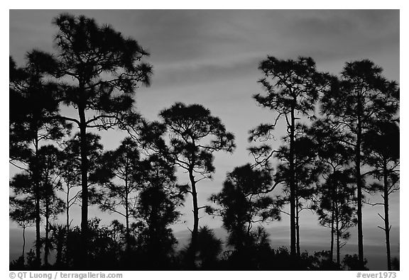 Slash pines silhouettes at sunrise. Everglades National Park (black and white)