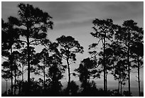 Slash pines silhouettes at sunrise. Everglades National Park, Florida, USA. (black and white)
