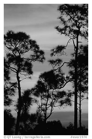 Slash pines against bright sunrise sky. Everglades National Park (black and white)
