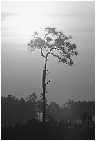Slash pine and sun. Everglades National Park, Florida, USA. (black and white)