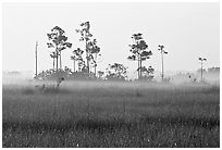 Pineland environment at sunrise, near Mahogany Hammock. Everglades National Park, Florida, USA. (black and white)
