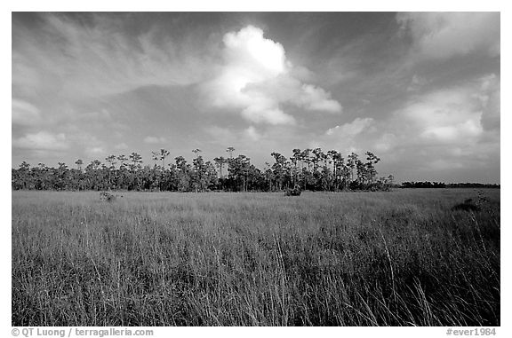 Sawgrass prairie and slash pines near Mahogany Hammock. Everglades National Park (black and white)