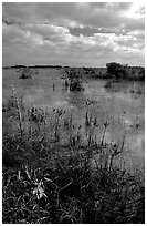 Predominantly freshwater swamp with mangrove shrubs, morning. Everglades National Park, Florida, USA. (black and white)