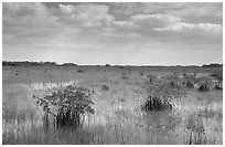 Mixed swamp environment with mangroves, morning. Everglades National Park, Florida, USA. (black and white)