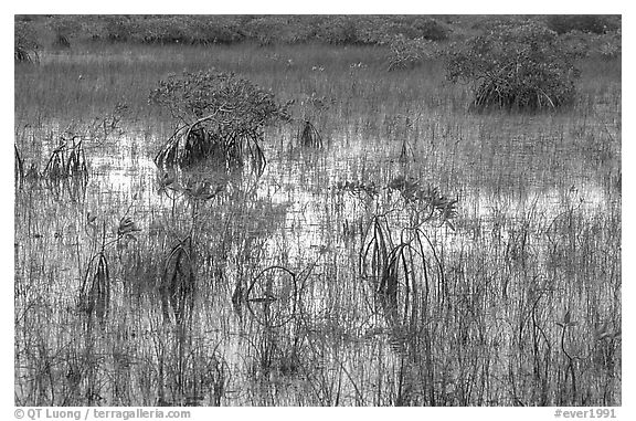 Grasses and Mangroves with sky reflections, sunrise. Everglades National Park (black and white)