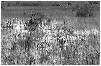 Grasses and Mangroves with sky reflections, sunrise. Everglades National Park ( black and white)