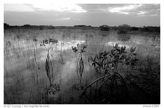 Red Mangroves (scientific name: Rhizophora mangle) at sunrise. Everglades National Park (black and white)
