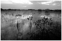 Red Mangroves (scientific name: Rhizophora mangle) at sunrise. Everglades National Park, Florida, USA. (black and white)
