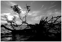 Fallen mangrove tree in Florida Bay, sunrise. Everglades National Park, Florida, USA. (black and white)