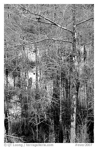 Cypress and swamp at Pa-hay-okee. Everglades National Park (black and white)